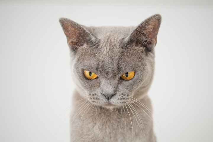 closeup photo of gray cat