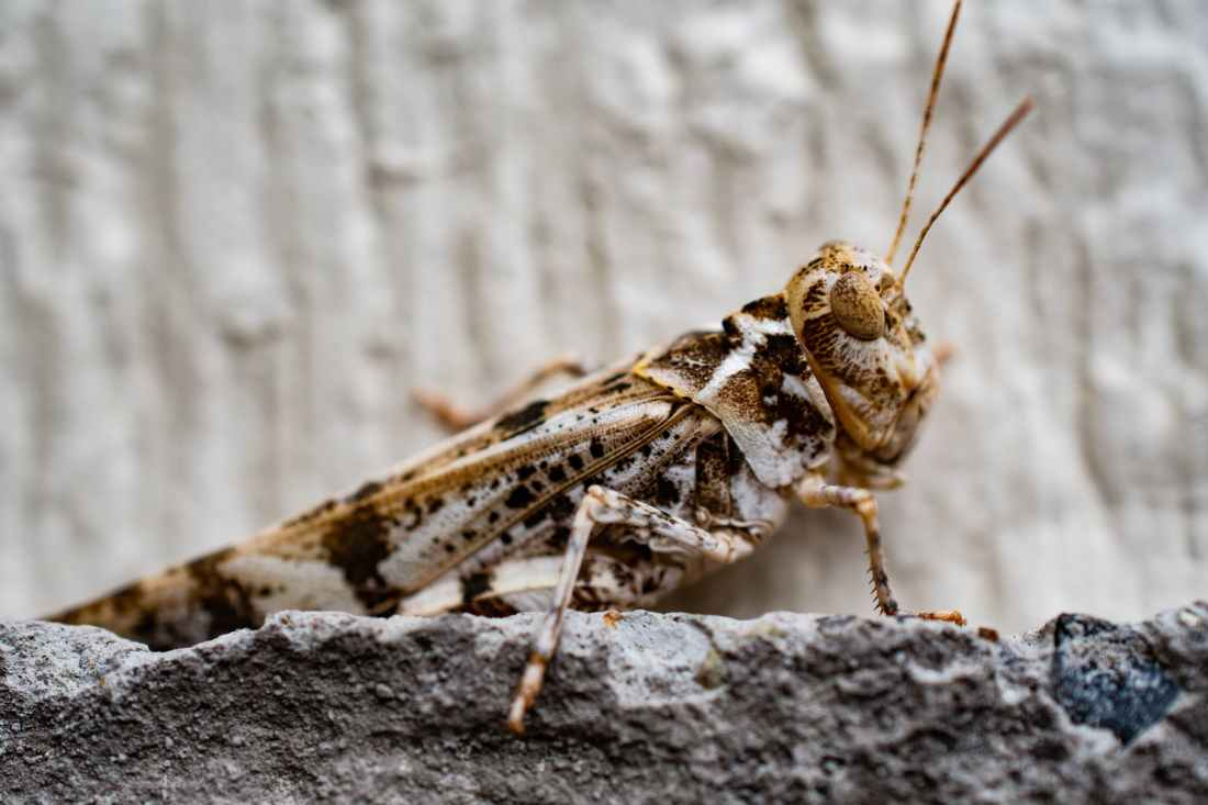 closeup photo of brown grasshopper