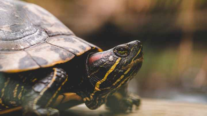 selective focus close up photography of red eared slider turtle